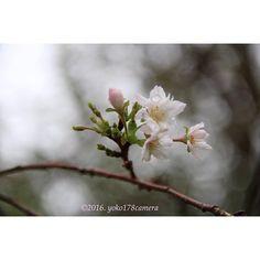 【yoko178camera】さんのInstagramをピンしています。 《Thank you for looking at my gallery. 旅の続き〜旅先で行った #須磨離宮公園 ♫敷地の中で〜出逢った#桜(・ω・)ノ #10月桜 っていうのがあるの?? 秋に#さくら に出逢うなんて嬉しくなりました♫ 思いがけない。って嬉しくなるよね(*^^*) … ひっそり静かに咲いていて。素敵だなぁって。ついつい騒いでしまう私としてはその佇まい分けて欲しい♡ … 撮影日2016.09.22 これはマクロレンズ☆#cerasussubhirtella #autumnalis #ファインダー越しの私の世界 #nature_special_ #myheartinshots #ig_myshot #ig_week_nature #canoneoskissx7 #はなまっぷ #ponyfony_flowers #flowersandmacro #superb_flowers #lovely_flowergarden #LOVES_FLOWERS…