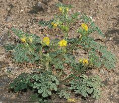 Buffalobur Nightshade or Buffalo Burr (Solanum rostratum)