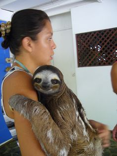 I have always wanted to hold one of these interesting creatures! (Three-toed sloth)