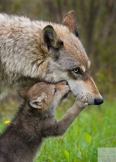 A She-Wolf with her cub!