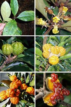Small native shrub to edible bird and butterfly attracting fruits, fragrant flowers. Rare Flowers, Yellow Flowers, Mt Tamborine, Green Terrace, African Plants, Australian Plants, Plant Images, Exotic Fruit, Rare Plants