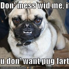 dis mi mean face - Funny pictures and memes of dogs doing and implying things. If you thought you couldn't possible love dogs anymore, this might prove you wrong. Funny Animal Quotes, Funny Animals, Cute Animals, Animal Humor, Animal Memes, Pug Quotes, Animals Beautiful, Baby Animals, Funny Pug Pictures