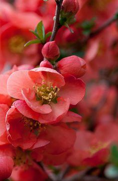Awake - spring flowering quince