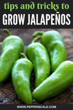 Jalapeno Sauce, Jalapeno Recipes, Stuffed Jalapeno Peppers, Spicy Recipes, Container Gardening Vegetables, Vegetable Gardening, Growing Jalapenos, Chilli Plant, Gardens