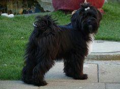Tibet Terrier Panja