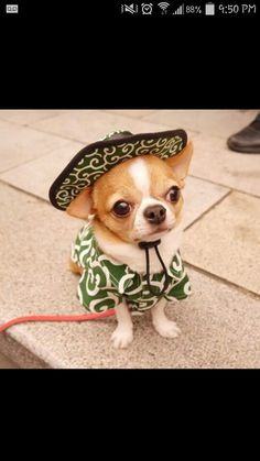 Effective Potty Training Chihuahua Consistency Is Key Ideas. Brilliant Potty Training Chihuahua Consistency Is Key Ideas. Cute Funny Animals, Cute Baby Animals, Animals And Pets, Chihuahua Puppies, Cute Puppies, Cute Dogs, Teacup Chihuahua, Tiny Puppies, Beautiful Dogs