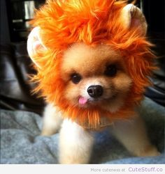 Pomeranian in a Lion Costume