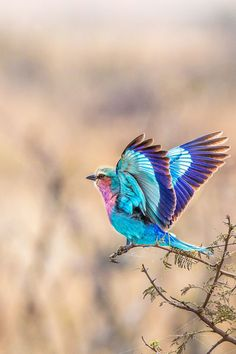 Lilac Breasted Roller in flight (by Joseph Mak on 500px)