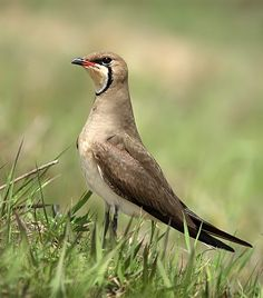 Oriental Pratincole (Glareola maldivarum), also known as the Grasshopper-Bird or Swallow-Plover is a wader in the pratincole family, Glareolidae.