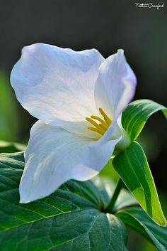 Trillium. These used to carpet the woods in NYS in the spring when I was growing up there as a child.