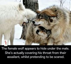 "it amazes me what will pass as ""fact."" The white wolf is a more domina.it amazes me what will pass as ""fact."" The white wolf is a more dominate animal the 2 - Animals And Pets, Funny Animals, Cute Animals, Smart Animals, Wild Animals, Amazing Animals, Animals Beautiful, Tier Wolf, Wolf Quotes"