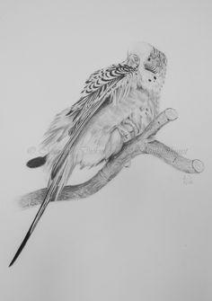 Wellensittich Chiocciolina. Zeichnung mit Bleistift. Budgie drawing in graphite  Fotoquelle: Wencke Sabrina Schacht