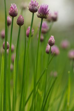 Always like a little clump of chives ....even in the flower border