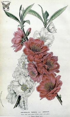 Flowering peach 'flore albo semi pleno' & 'flore rubro semi pleno.' Prunus persica [as Amygdalus persica var. sinensis] Houtte, L. van, Flore des serres et des jardin de l'Europe, vol. 10, (1855)