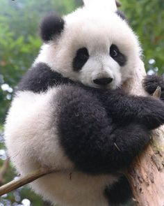 Chinese national treasure giant panda The giant panda (scientific name: Ailuropoda melanoleuca) belongs to the only mammals of the carnivora, the bear family, the giant… Wild Panda, Niedlicher Panda, Panda Bebe, Panda Funny, Nature Animals, Animals For Kids, Cute Baby Animals, Panda Kindergarten, The Bear Family
