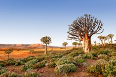 Quiver Tree Forest at another angle - Nieuwoudtville, Northern Cape Province, South Africa