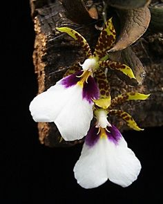 Trichocentrum tigrinum - Presented by Orchids Limited