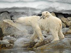 See a photo of a polar bear and her cub and download free wallpaper from National Geographic.