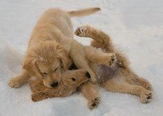 Sisterhood golden retrievers