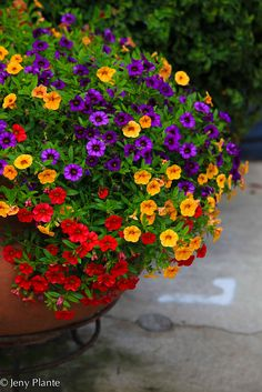 Colorful annuals~~container of flowers