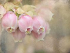 Blueberry blossoms by tanakawho, via Flickr
