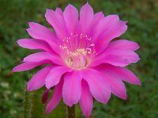 "Schick Echinopsis Hybride "" Foxy Lady "" blühfähige Pflanzen"