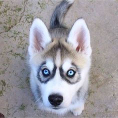 All About Playful Siberian Husky Pups Animals And Pets, Baby Animals, Funny Animals, Animals Photos, Wild Animals, Cute Puppies, Dogs And Puppies, Huskies Puppies, Cute Animals Puppies