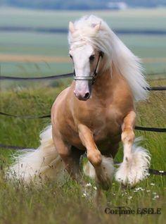Stunning Gypsy Vanner horse.