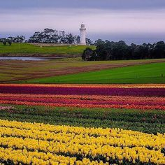 The flat-topped Table Cape, lighthouse and tulip fields.