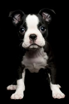 Adorable cute look of Boston Terrier puppy.