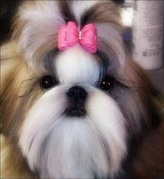 Fantasy's Diamond Girl, the face of love, trust and hope! I think this is the sweetest Shih Tzu face I've seen. Shih Tzu Puppy, Shih Tzus, Cute Puppies, Cute Dogs, Sweet Dogs, Diamond Girl, Beautiful Dogs, Cute Baby Animals, Dog Grooming