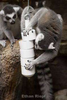 Stacked PVC Cap Feeder for Ring-Tailed Lemur at Saint Louis Zoo. Our raccoons loved this! Zoo Animals, Animals And Pets, Strange Animals, Rare Animals, Zoo Toys, St Louis Zoo, Zoo Project, Pet Monkey, Bird Toys