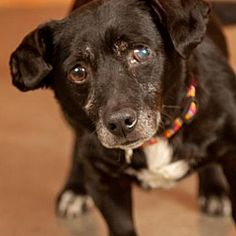Available Pets At Dachshund Rescue South Florida In Weston