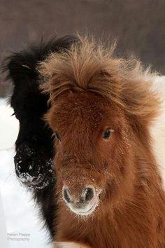Любовь Лошадей, Красивые Лошади, Шетландские Пони, Маленькие Жеребята, Мини Лошади, Сельскохозяйственные Животные, Домашние Питомцы, Экзотические Домашние Животные, Забавные Зверюшки
