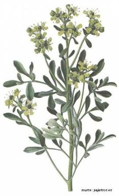 "RUE The Romans it call ""Mars Herb"" because it can be as fierce as the god Mars. It is known to relieve pain, colic and to improve appetite and digestion."