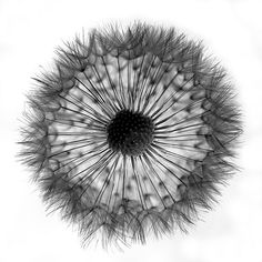 201/365: dandelion (by bonnevillekid)
