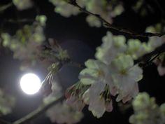 Japanese love sakura!Seeing sakura at night is called,'yozakura'...some places lights up sakura.