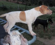 Bull Arab (Aussie Pig Dog) More