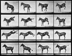 Animal Locomotion: Plate 658 (Mule) by Eadweard Muybridge