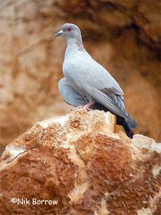 Somali Pigeon(Columba oliviae)