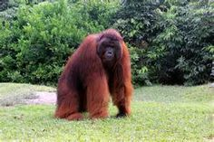 Borneo Orangutan - Bing images