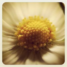 Macro daisy..taken with my Canon f1.8 lens and extension tube. Instagram'd for later effect & frame.
