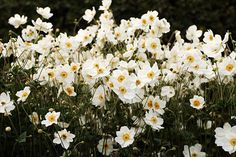 Shady garden tips from rhs: White flowers such Anemone brighten up shade Plants For Shady Areas, Best Plants For Shade, Shade Garden Plants, Japanese Garden Plants, Shade Tolerant Plants, Shade Perennials, Invasive Plants, Woodland Plants, Woodland Garden
