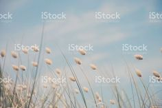 Cotton Tail Grass Heads bobbing gently in the breeze. Grass Background, Great Backgrounds, Closer To Nature, Image Now, Fine Art Photography, Royalty Free Stock Photos, Commercial, Summer, Mindfulness