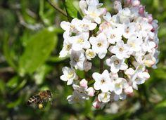 Honigbiene im Anflug auf den Schneeball