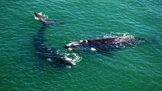 Enjoy Whale watching in Mossel Bay.