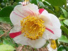 Camellia japonica Higo 'Yamato-nishiki' (Japan, by 1912)
