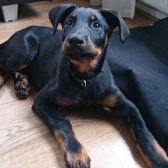 I love the dark legs 😍😍 Baby Puppies, Dogs And Puppies, Border Collie, Puppy Breath, Bluetick Coonhound, Norwich Terrier, Herding Dogs, Different Dogs, Doberman Pinscher