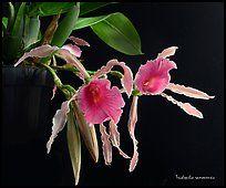 Trichopilia ramonensis.  Uma orquídea espécies (cor)