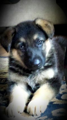 Our new baby girl :) we couldn't have just one GSD